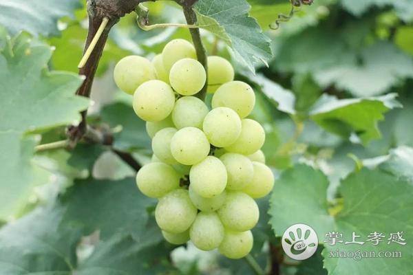 汉川市两合草莓葡萄采摘园水果怎么样?汉川市两合草莓葡萄采摘园水果好不好?[图1]
