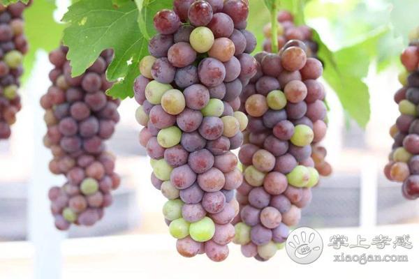 汉川市两合草莓葡萄采摘园水果怎么样?汉川市两合草莓葡萄采摘园水果好不好?[图3]